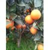纯天然无公害水果